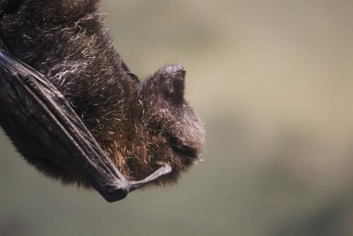 Rodrigues Flying Fox (7)