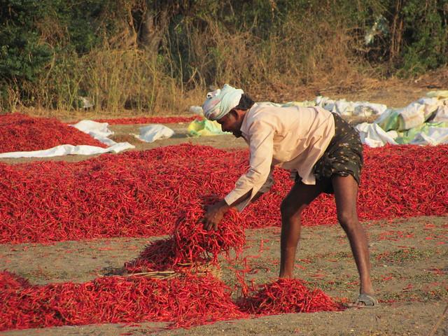 Chillies Prices Rising In Guntur Mirchi Yard