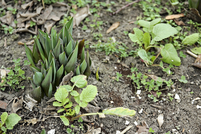 tulips and radishes