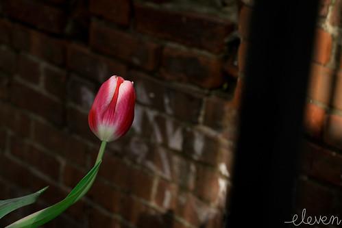 Tulip Beautiful Tulip by Eleven ~ NYC~