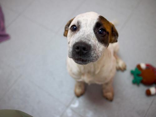 P10 hound mix puppies