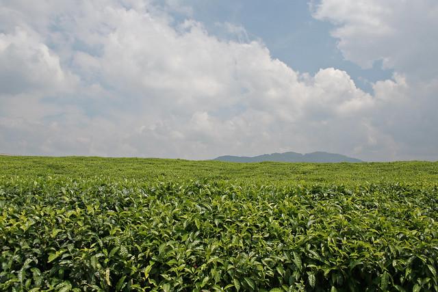 tea fields near Nyungwe