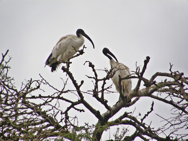 Ibis sagrados (Threskiornis aethiopicus)