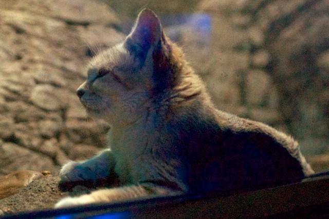 Sand Cat Daydream