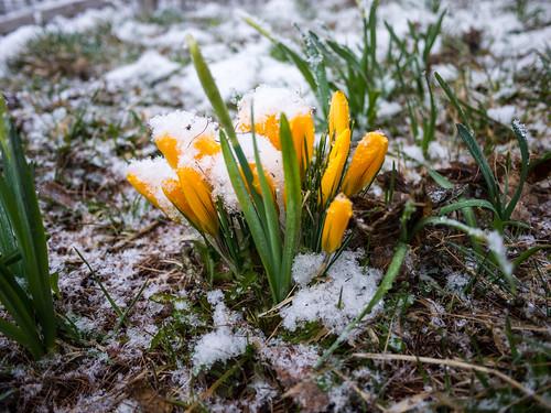 Autour du chalet, crocus sous la neige