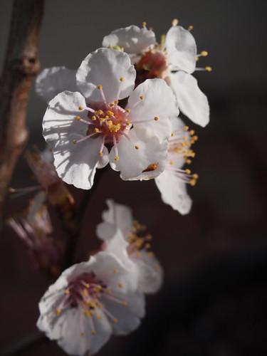 apricot blossoms - P3080274