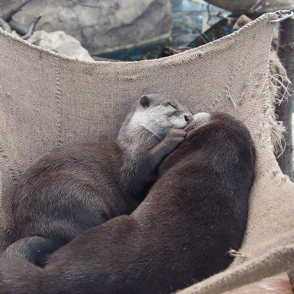 two otters cuddled up together in a hessian hammock.