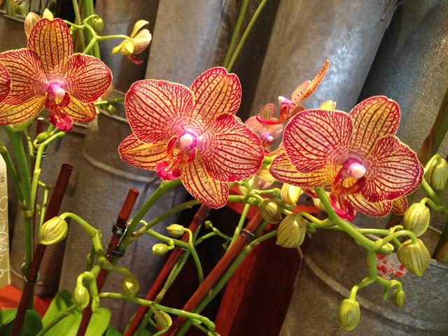 Orange Phalaenopsis orchids