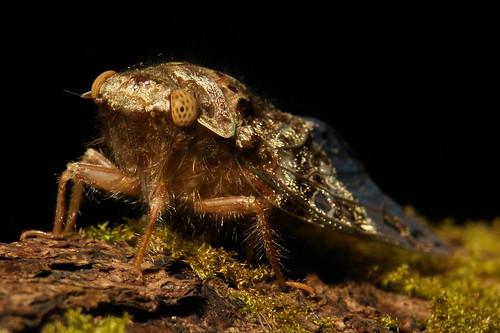 Cicada (Platypleura assamensis)