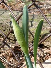 Daffodil bud - April 1 / Day 91