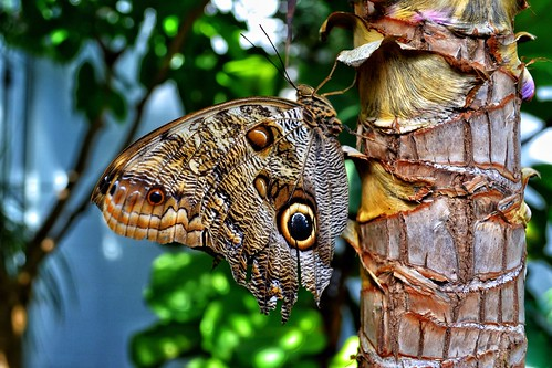 Owl butterfly at Dow gardens.