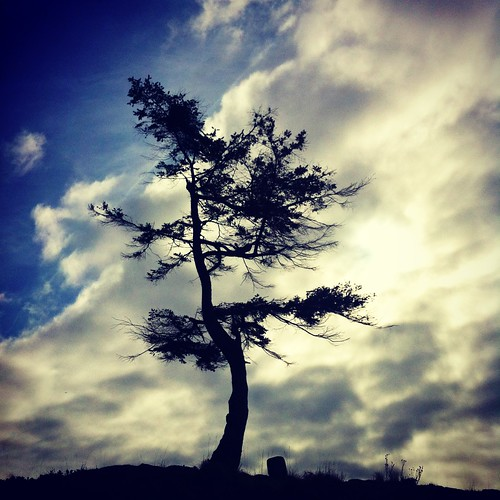 Lone Arbutus Tree