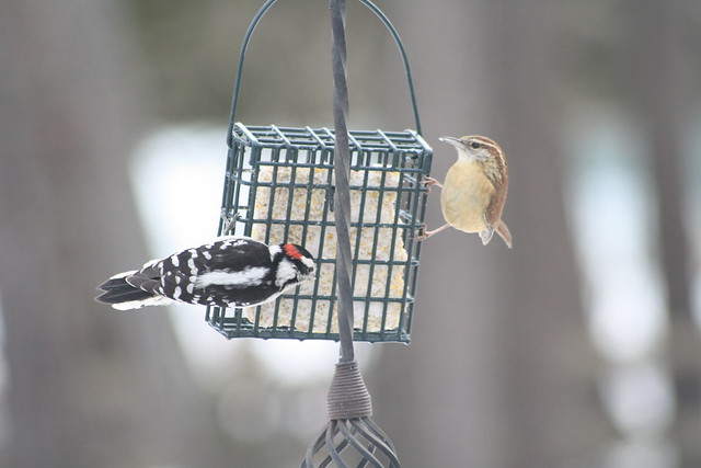 downy woodpecker and carolina wren