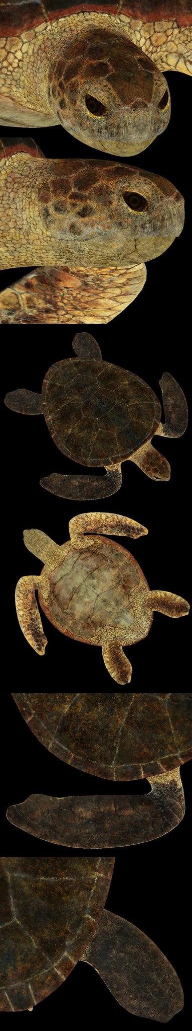 Sea Turtle Texture Zbrush | AmazingBeggar