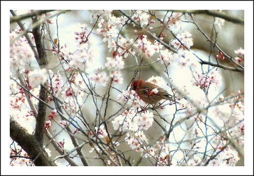 Finch in a Cherry Tree by ambermae