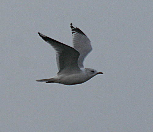 Common Gull Larus canus Tophill Low NR, East Yorkshire March 2013