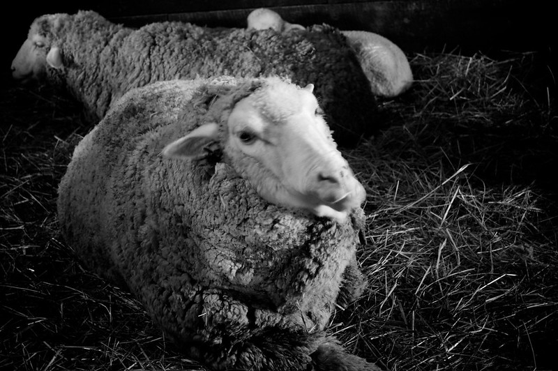 Ewe laying in the hay