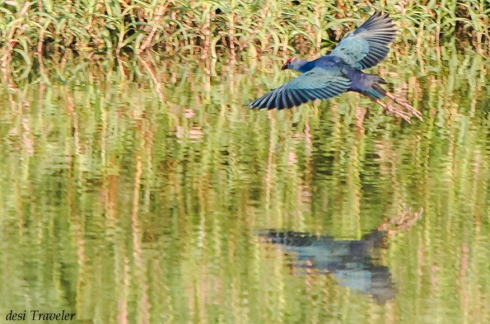purple moorhen or purple swamphen in flight in ICRISAT