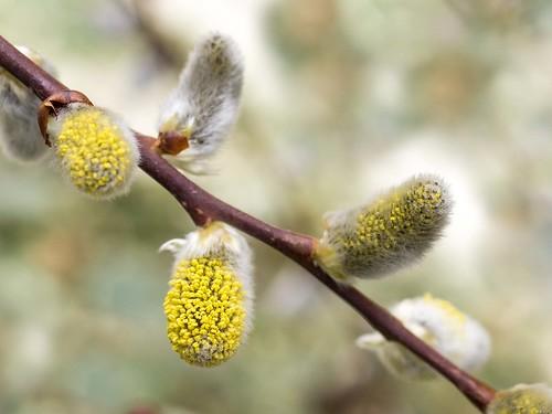 Blühendes Weidenkätzchen