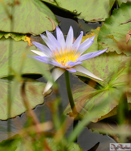 DSC_6107a Lotus azul by DigiPhotus