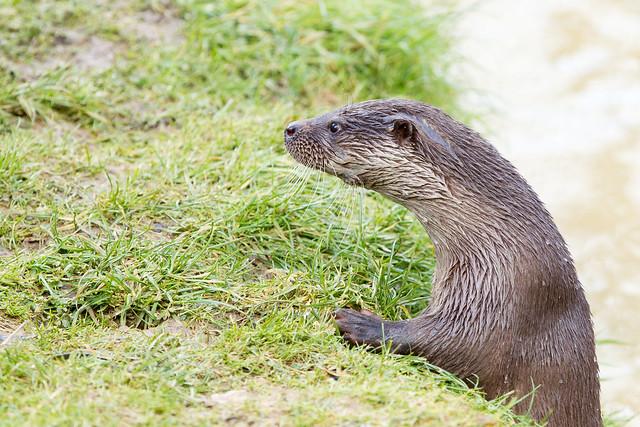 A slim, alert otter leans on a grassy bank.