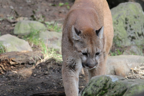 Cougars at the Zoo (4)
