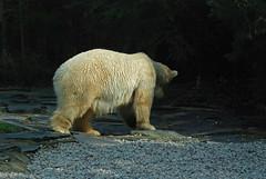 Eisbärin Katinka im Zoo de La Flèche