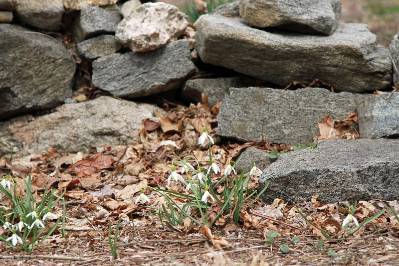 snow drops, stone wall