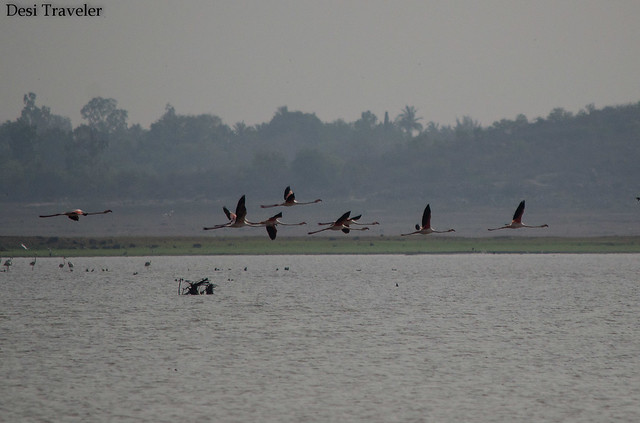 Pink Flamingos in flight at gandipet lake