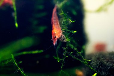 A Red Cherry Shrimp from my Freshwater Tank