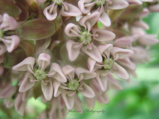 Milkweed star flower