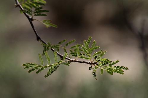 Mesquite New Growth; Oro Valley, AZ [Lou Feltz]