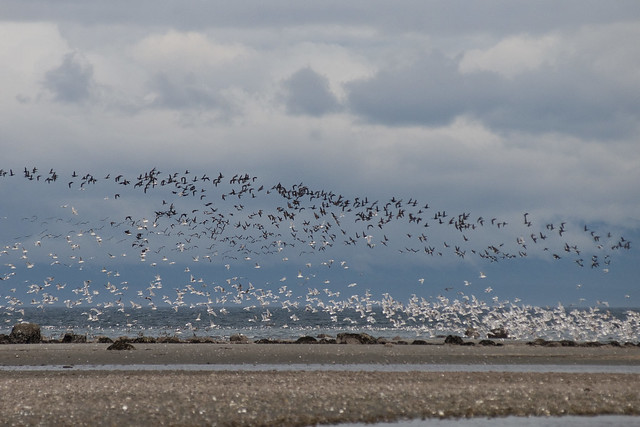 Brant and Gulls