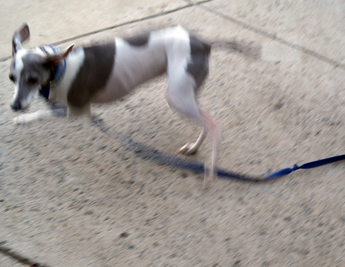 baddoggreyhoundC09298