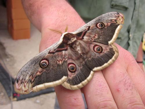 2013_04_26 PIC - Giant Emperor Moth (Saturnia pyri) 05