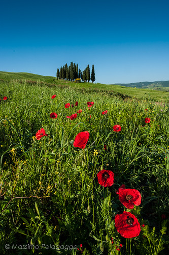 Poppies by Massimo Pelagagge