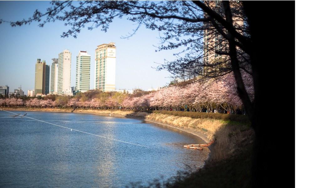 LotteWorld Cherry blossom festival
