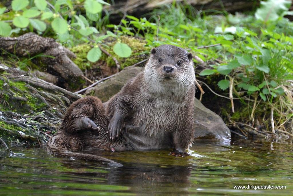 Otter by Dirk Paessler