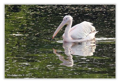 Pelican - 8 by ShubhenduPhotography