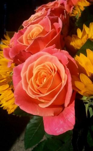 Sun roses