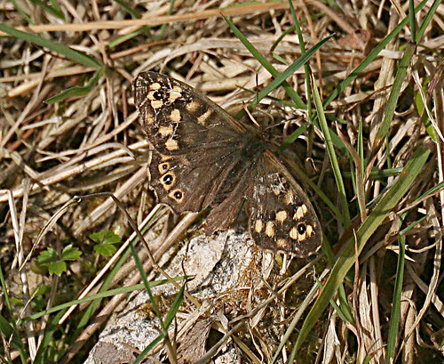 Speckled Wood Pararge aegeria Tophill Low NR, East Yorkshire April 2013