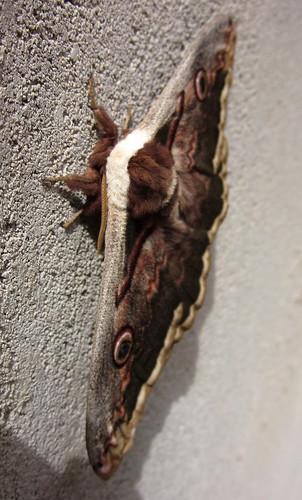 2013_04_26 PIC - Giant Emperor Moth (Saturnia pyri) 03