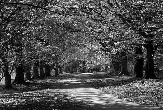 Avenue of Beech Trees