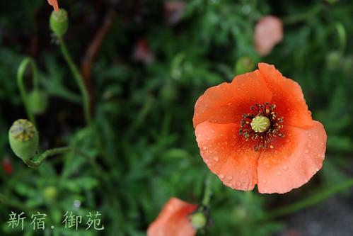 poppies shinjuku gyoen