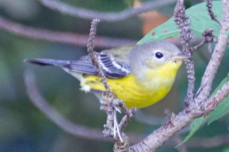 _DSC3909 Magnolia Warbler
