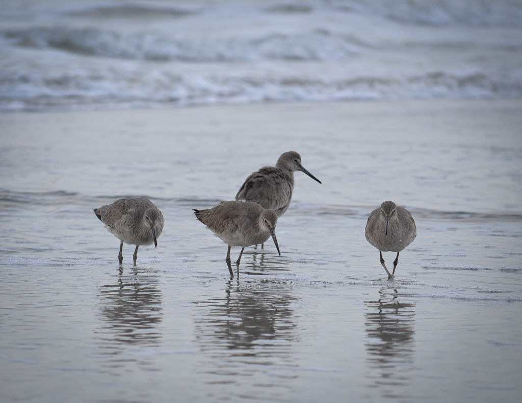 Willets of South Carolina