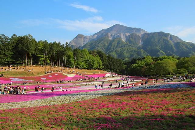 羊山公園の芝桜