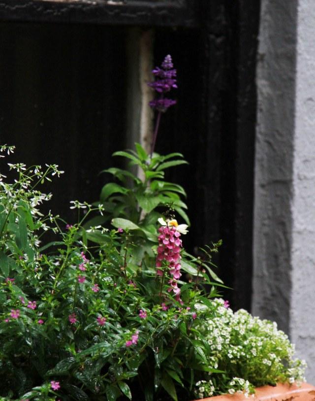 mexican heather, euphorbia, salvia, angelonia