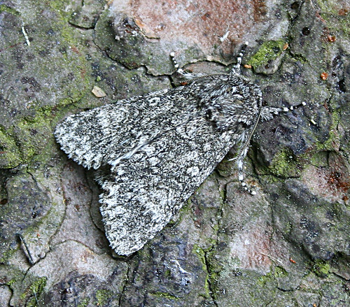 Poplar Grey Acronicta megacephala Tophill Low NR, East Yorkshire June 2013