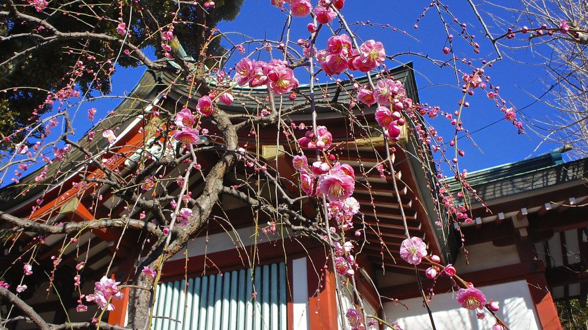 Plum blossoms at Kameido Tenjin Shrine